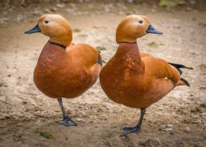 A pair of similar looking ducks